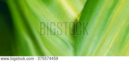 Amazing Eco Life Nature Background Banner. Macro Green Leaf Texture . Selective Focus. Ecology Green