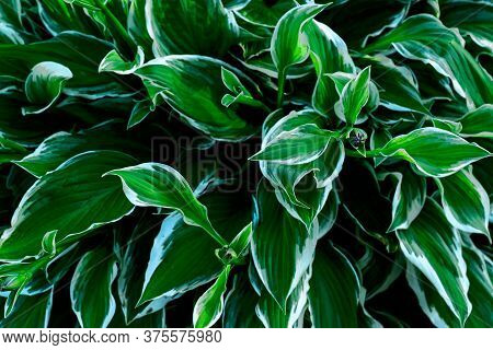 Close Up Of Young Spring Leaves Of Hosta Plant With Flower Buds. Green Fooliage Background .