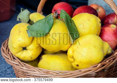 Fresh Organic Yellow Ripe Quinces From An Orchard Displayed In A Wooden Basket For Sale At A Steed F