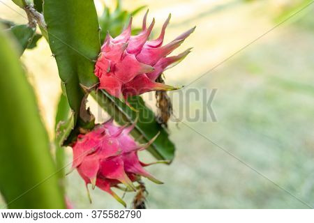 Red Dragon Fruit On Plant, A Pitaya Or Pitahaya Is The Fruit Of Several Cactus Species Indigenous, D