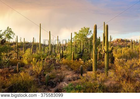 Cactus thickets in the rays of the setting sun before the thunderstorm, Saguaro National Park, southeastern Arizona, United States.