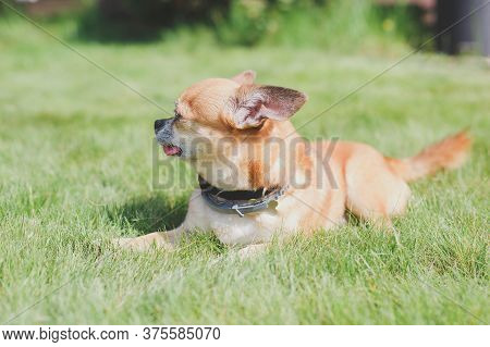 Cute Red Dog Chihuahua Lies On A Green Meadow Near The House