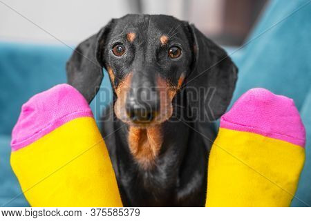 Nice Obedient Dachshund Dog Sits On Sofa, Looks At Owner Through Legs And Begs. Human Feet In Bright