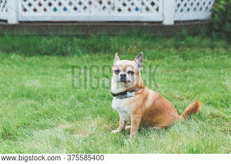 Funny Cute Red Brown Dog Chihuahua Sitting On A Green Lawn, Sticking Out His Tongue 1