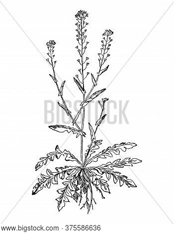 Shepherds Purse Or Capsella Bursa Pastoris Flower And Leaves Isolated Background. Plant Herbaceous,
