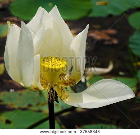 White Lotus Flower Nature Blossom