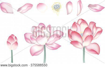 Chinese Lotus,chinese Lotus Petals, Lotus Combinationlotus Paintings, Vector Of Hand Drawn Lotus Flo