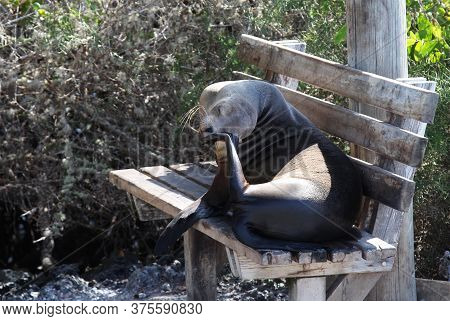 Sea Lion Sits On A Bench With His Head Bowed And Scratches His Eye