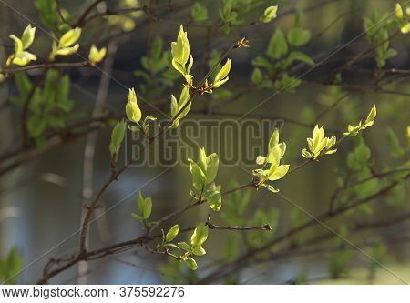 Bright Green Spring Lilac Leaves Backlit By The Sun