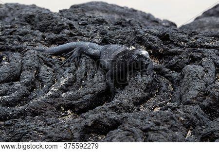 Black Galapagos Marine Iguana On A Background Of Black Lava Stones, Disguise