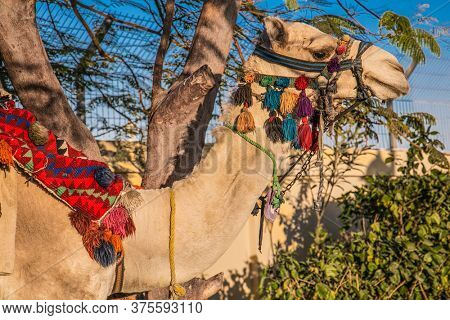 The camel in Hurghada city, Egypt