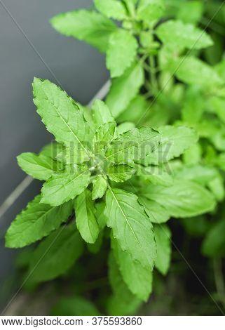Fresh Green Holy Basil, Healthy Food.