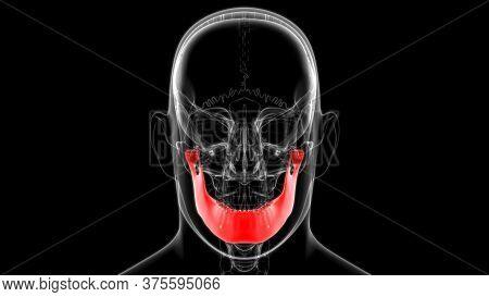 Human Skeleton Skull Mandible Bone Anatomy For Medical Concept