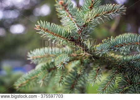 Pine Leaves Nature Background. Natural Background. Christmas Tree Background. Pine Leaves Close Up N