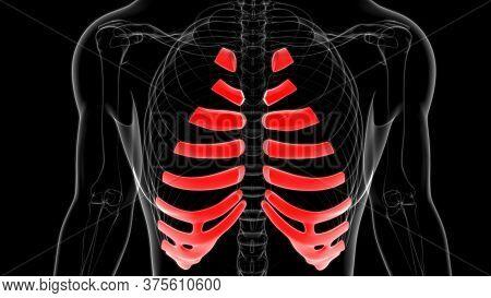 Human Skeleton Anatomy Costal Cartilage 3D Rendering