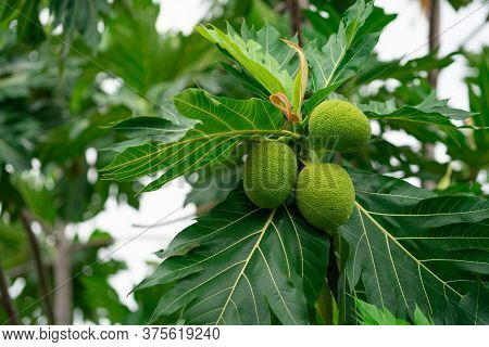 Breadfruit On Breadfruit Tree With Green Leaves In The Garden. Tropical Tree With Thick Leaves Are D