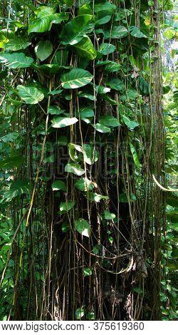 Tropical creepers. Big tropical plant. Big white-green creeper leaves