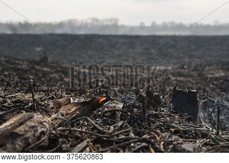 Consequences Of Summer Forest Fire. Burnt Black Reed In The Swamp, Background