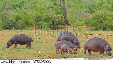 Here In The Photo We See Magnificent Hippos And They Eat Grass.