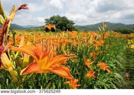 landscape of tiger lily (orange daylily) flowers farm at Taiwan