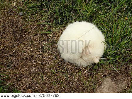 A Sleeping White Cat Lies In A Clew, In The Form Of An Even Circle, On The Dead Brown-green Grass, A