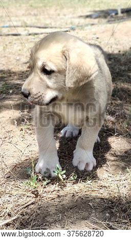 Puppy, Anatolian Shepherd Dog. Close-up Portrait...anatolian Shepherd Dog Puppie Playing In The Gard