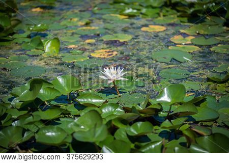 White Water Lilies (nymphaea Species) Flower On Large Round Leaves