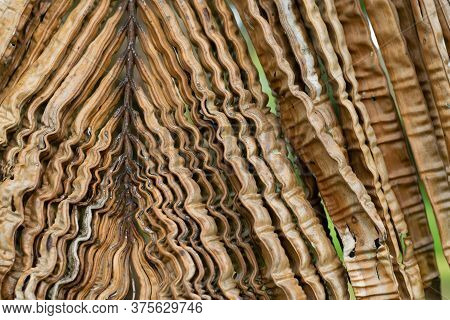 Close Up Of Crinkled Brown Palm Leaves. Boron Deficiency In Oil Palm.