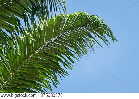 Low Angle View Of Tropical Oil Palm Leaves On Blue Sky Background. Beautiful Natural Background For