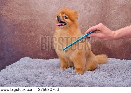 Pomeranian. The Concept Of The Promotion Of Haircuts And Care For Dogs. Haircut Pomeranian Dog Hair