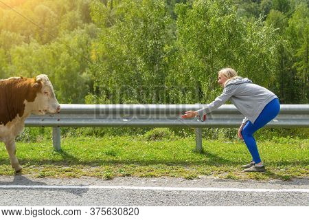 A Young Blonde Is Teasing Her Big Brown-white Cow Or Bull To Pet And Feed Crouching Near A Road Fenc