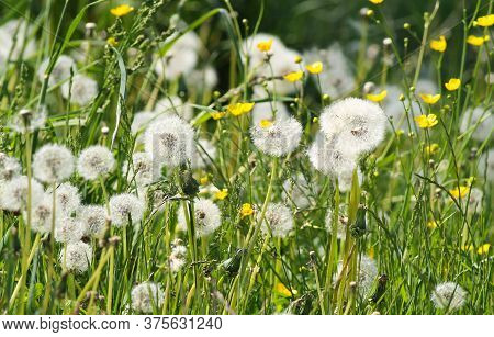 Plenty Of Dandelions With Soft White Fluff