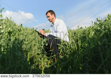 A Young Farmer Inspects A Field With Green Peas. Agribusiness Concept.