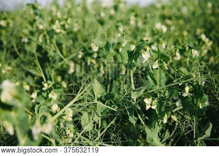 Growing Green Peas In A Farmer's Field