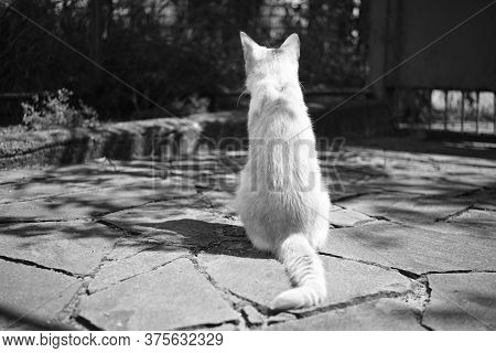 Cat Rest In Courtyard On The Stone Floor. Back View. Bw Phot