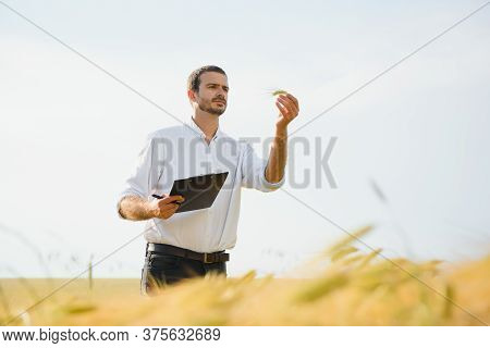 A Young Farmer In A Wheat Field Checks The Ripening Of The Crop. The Concept Of Successful Agricultu