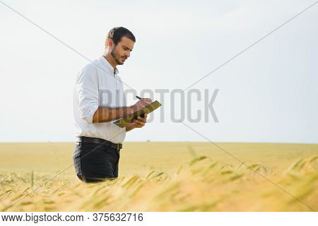Agronomist Farmer Is Inspecting Ripening Ears Of Wheat In Field In Warm Summer Sunset. Farm Worker A