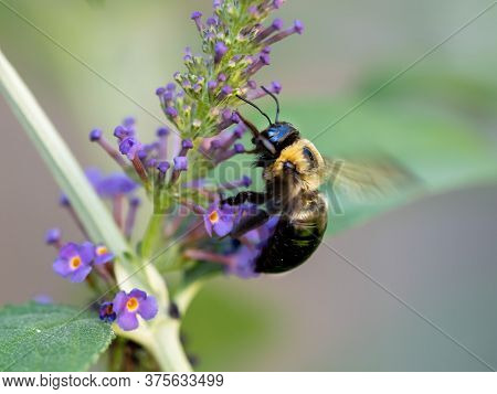 Black And Yellow Bumblebee Pollenating On A Purple Butterfly Bush Flower Bloom With Its Wings Buzzin