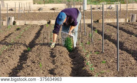 farmer is planting young vegetables in a field of sicily agricultural