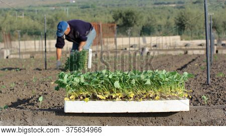 seedbed with seedlings for agriculture in a Sicily field, on the blurred background a farmer is planting the small plants