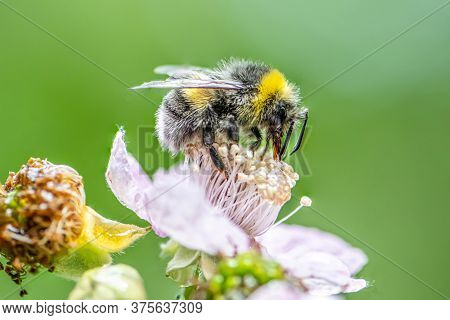 Close Up Of A Bumblebee Extracting Nectar Form The Blooms On A Raspberry Flower In Organic Garden