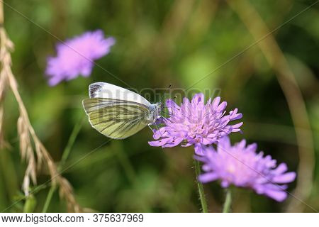 Black-veined White Butterfly Sits On A Flower In The Wild