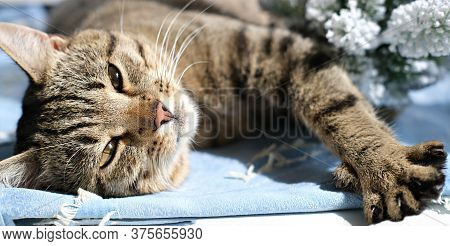 Cute Tabby Cat Laying In The Sunshine. Lazy Relaxed Cat. Pet Friends Banner. A Cat With Yellow Eyes.