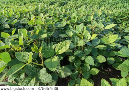 Close Up Of Soy Field And Soy Plants During Summer Season