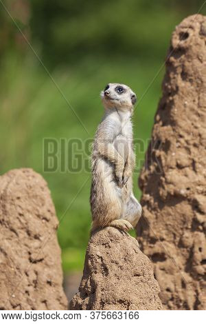 Meerkat - Suricata Suricatta Standing On A Stone Guarding The Surroundings In Sunny Weather