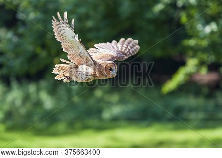 Eurasian Eagle Owl - Bubo Bubo Big Owl With Brown Forest Background