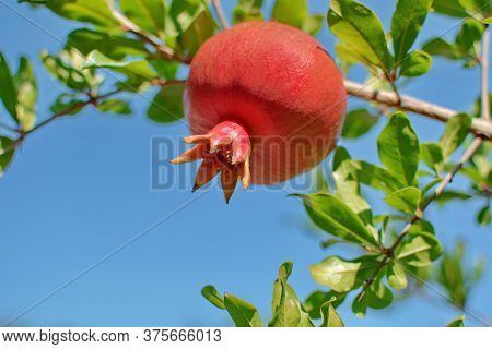 Juicy Red Pomegranate Growing On A Background Of Blue Sky. Red Pomegranate Hanging On A Tree. Pomegr