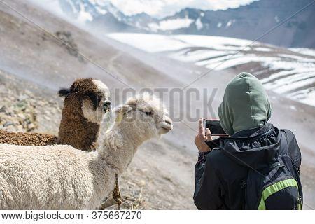Cusco, Peru - October 29: Tourist Makes A Photo Of Two Curious Alpaca Animals At Altitude Mountains