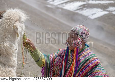 Vinicunca, Peru- October 29: Mountain Guide In Traditional Wear Feeds His Alpaca At High Altitude Gr