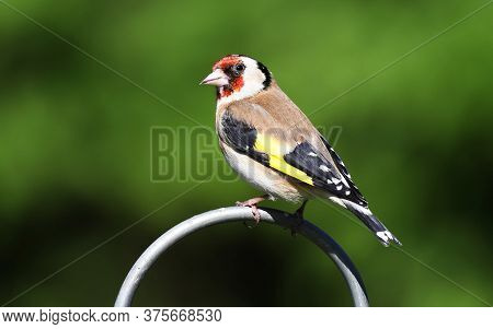 A pretty Goldfinch bird , Carduelis carduelis, perched on a metal post.